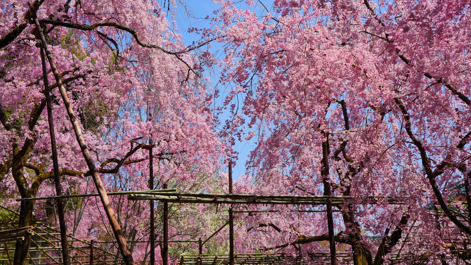 神苑を彩る豪快に咲き誇る満開の桜