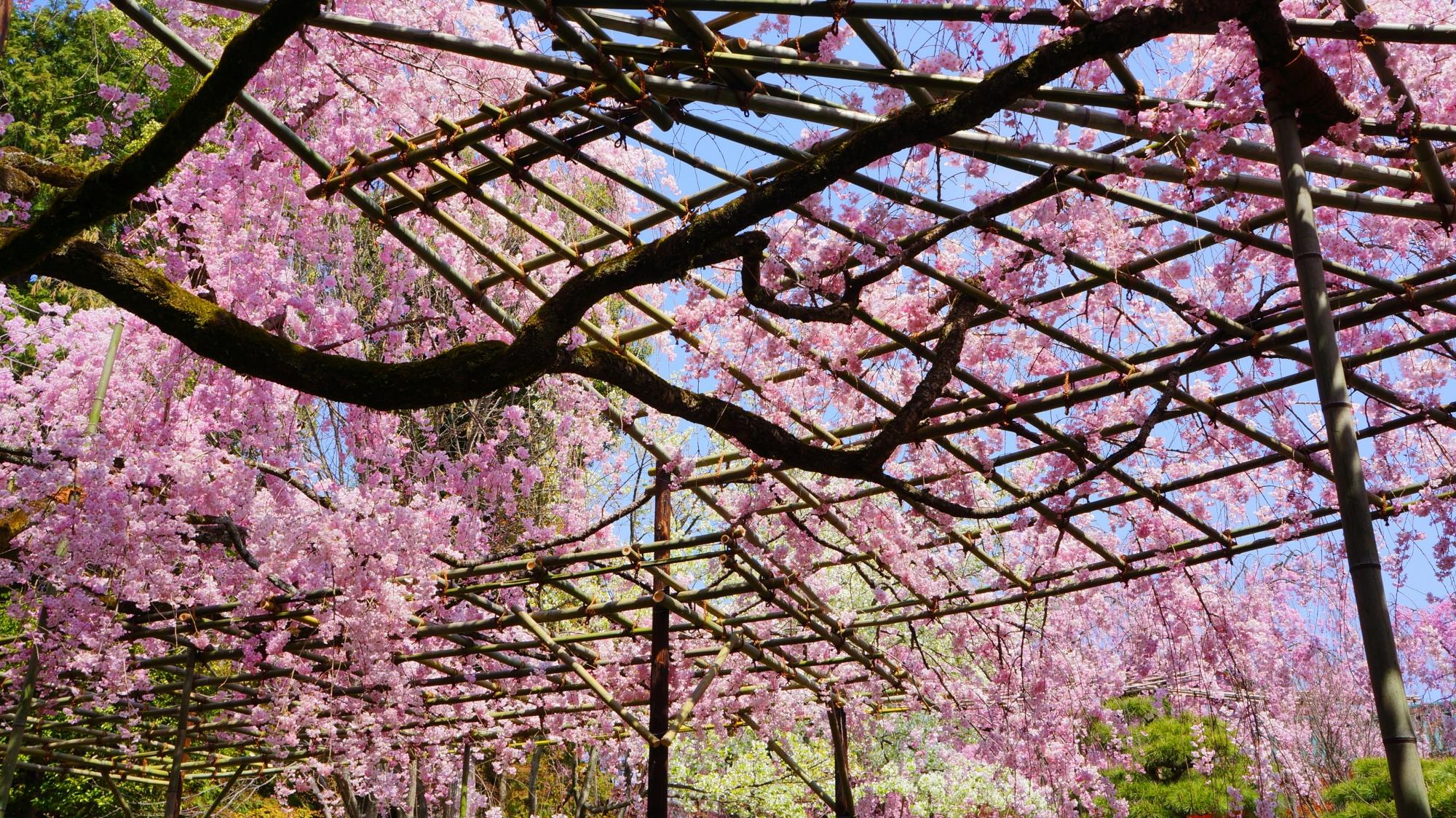青空を染める美しいピンクのしだれ桜