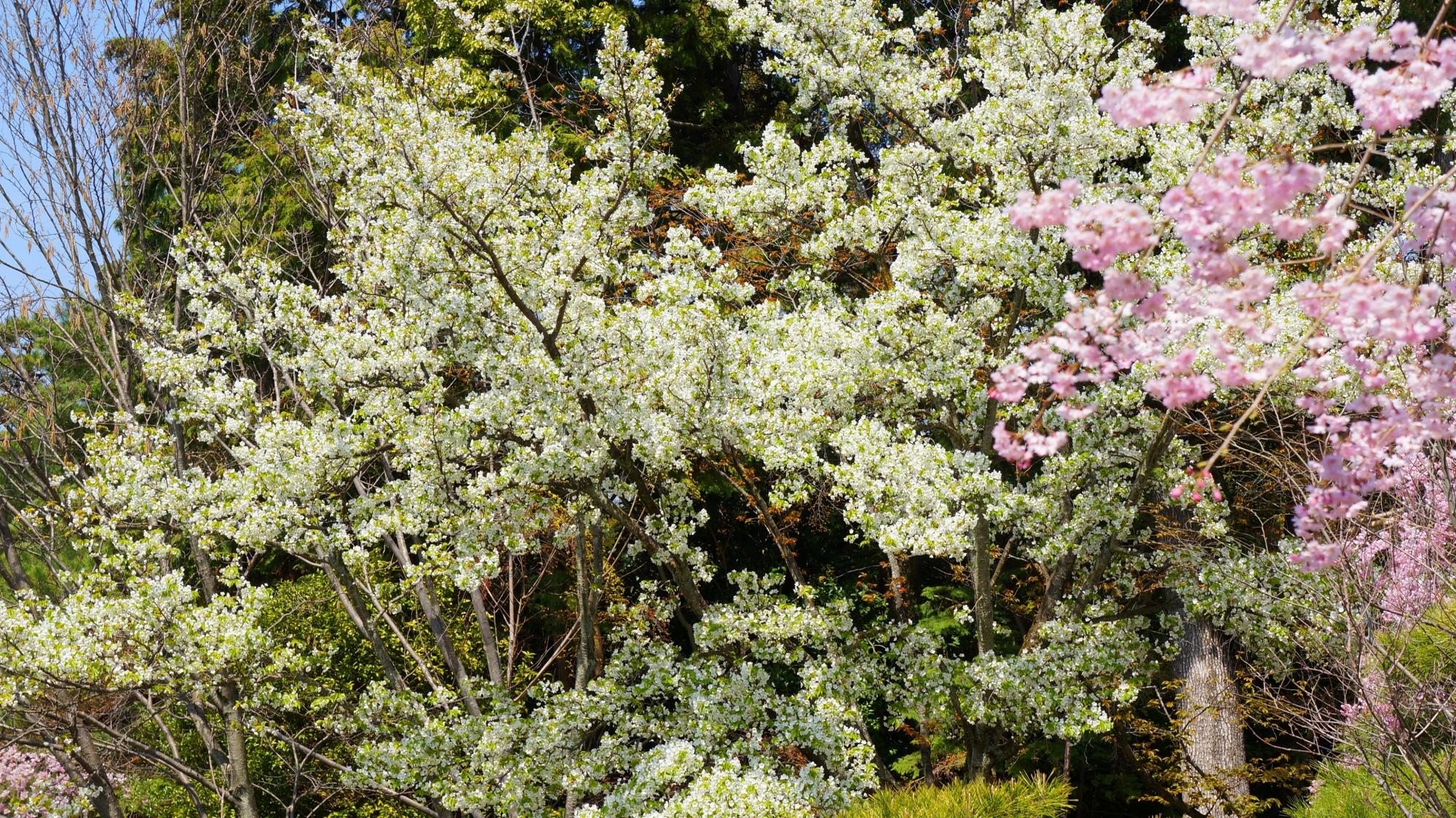 淡い色合いの満開の桜