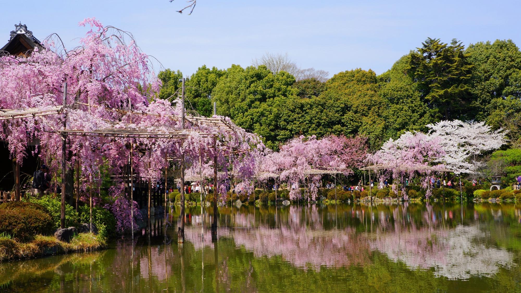 神苑の水辺を彩る華やかな桜