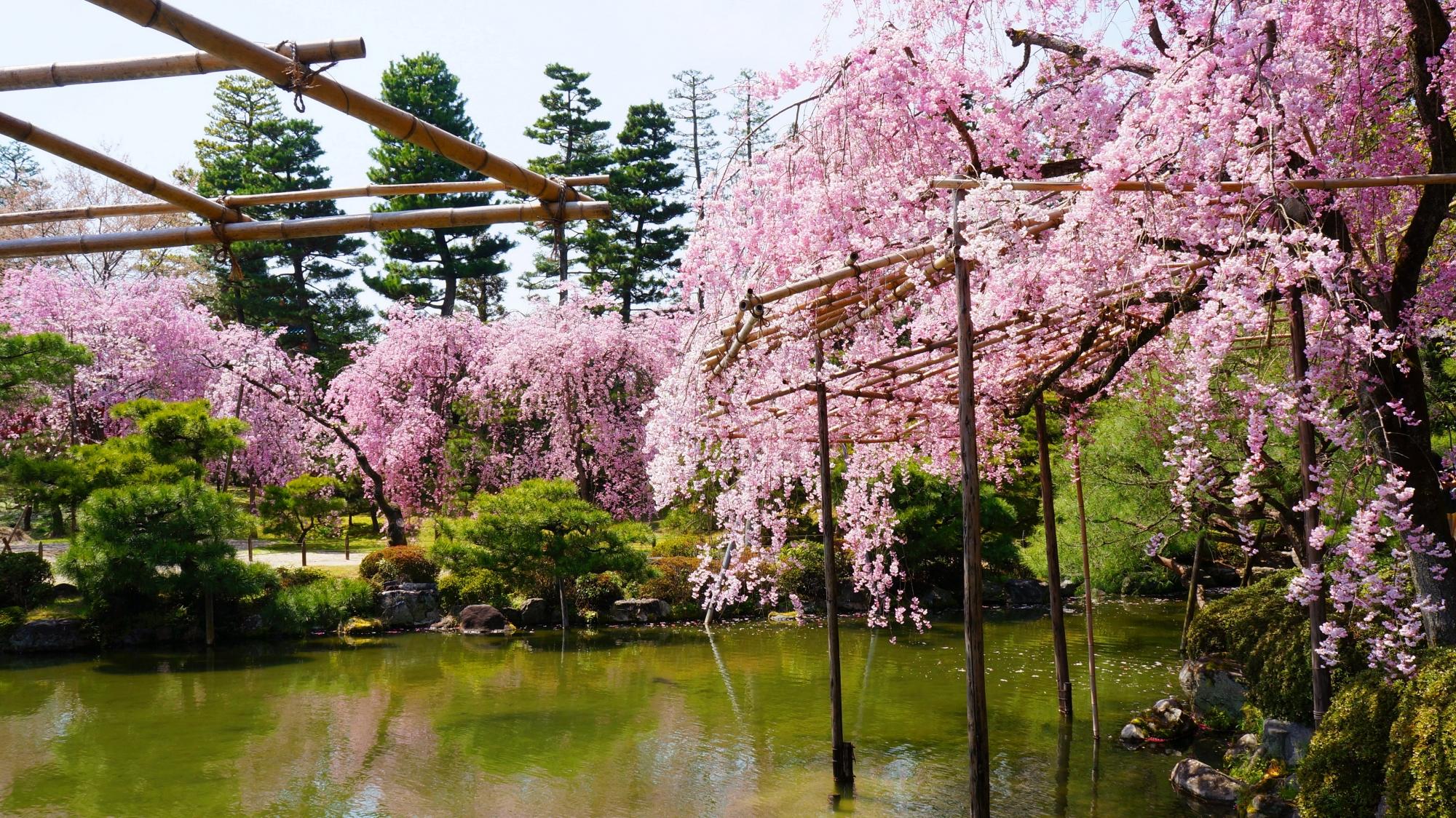 見事なしだれ桜で溢れる水と緑の神苑