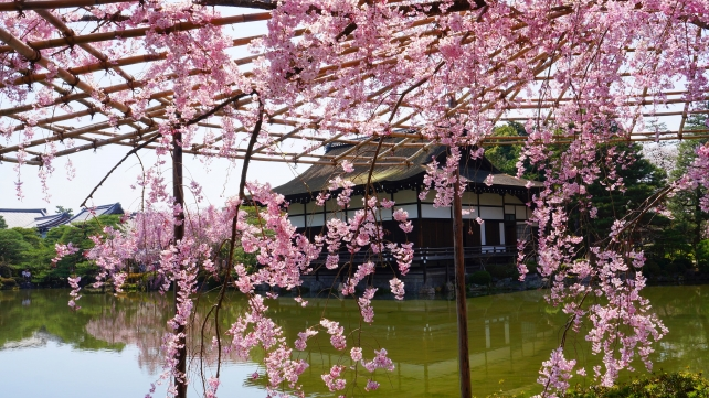 Weeping cherry tree Heian-jingu Shrine Garden Kyoto spring