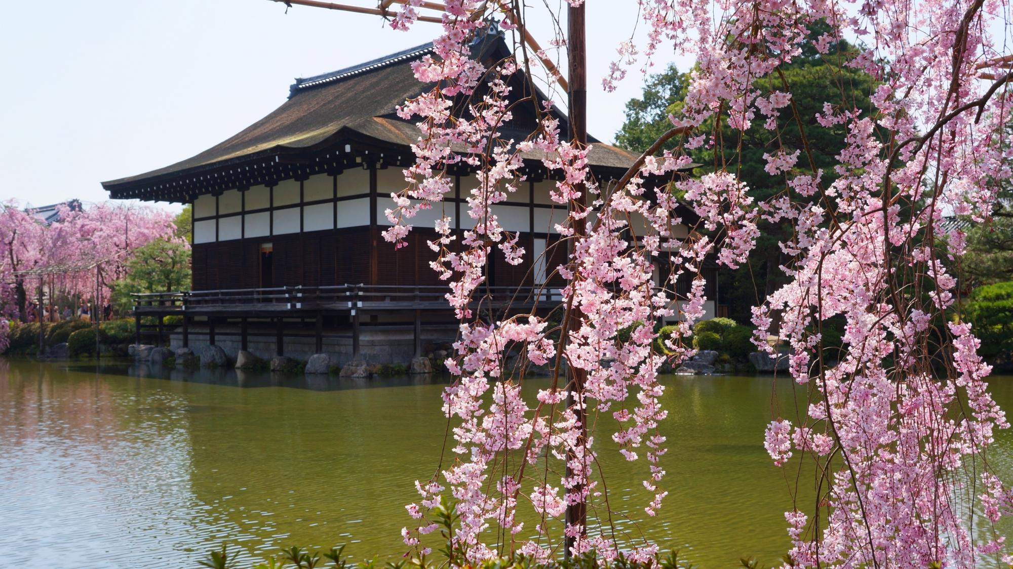 しなやかに揺らぐしだれ桜