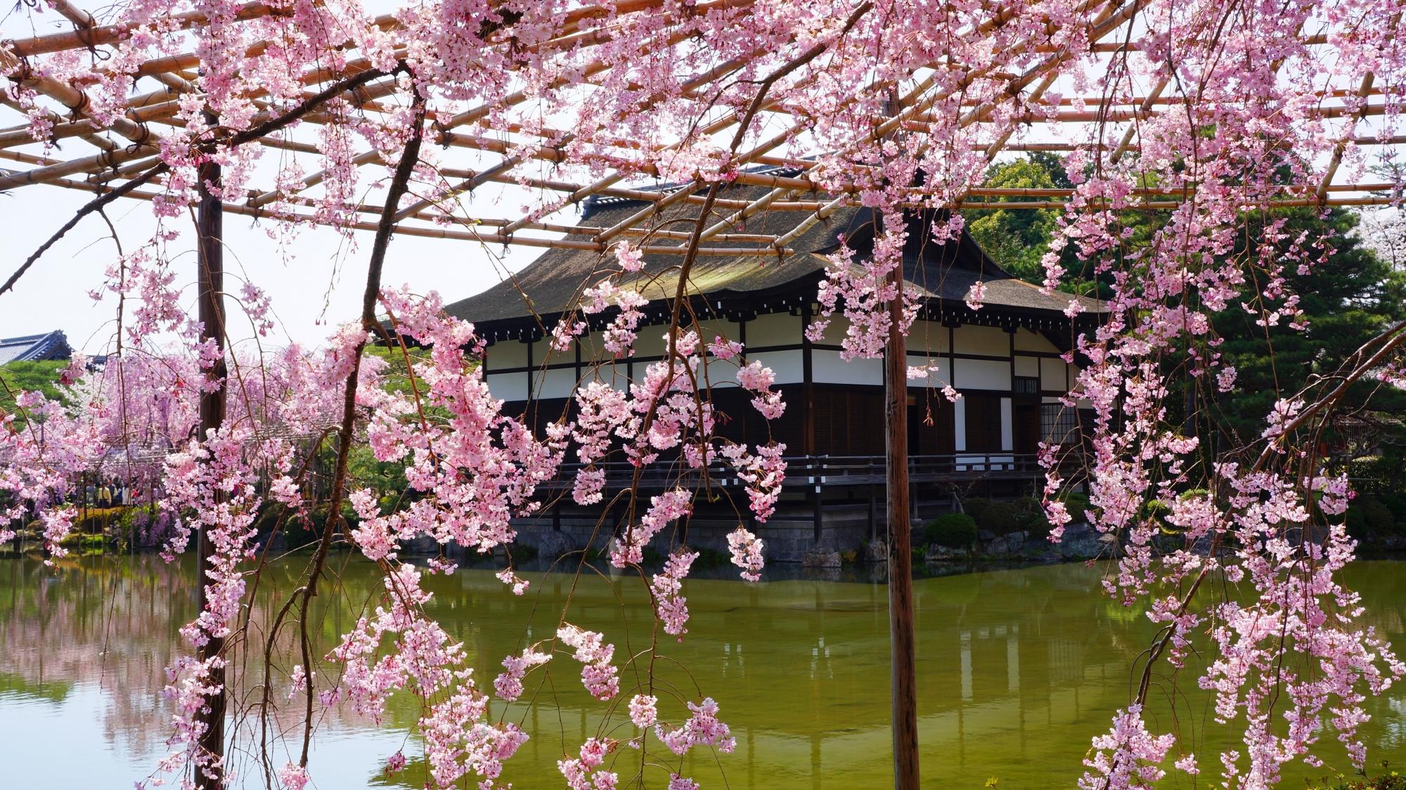 水辺と尚美館を優雅につつむピンクのしだれ桜