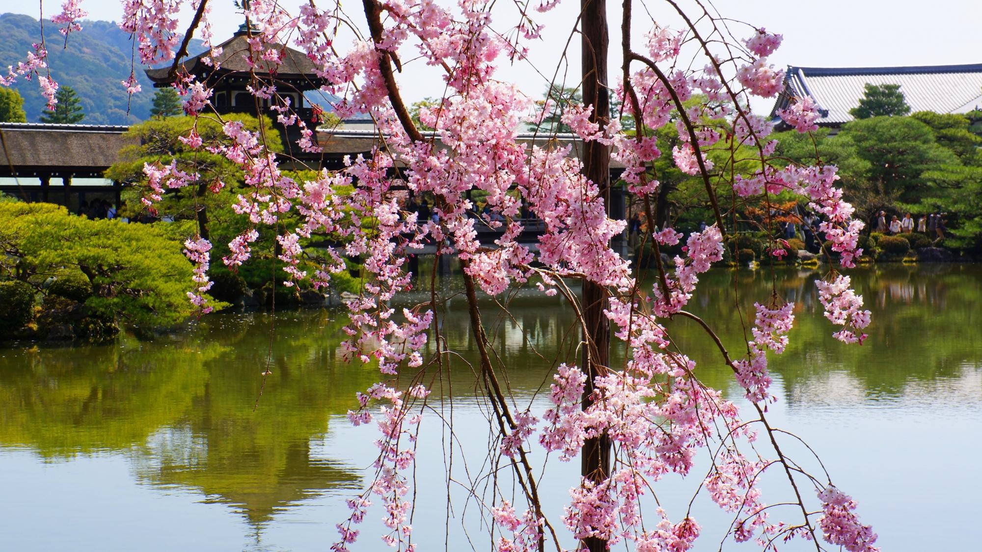 泰平閣をピンクにそめるしだれ桜