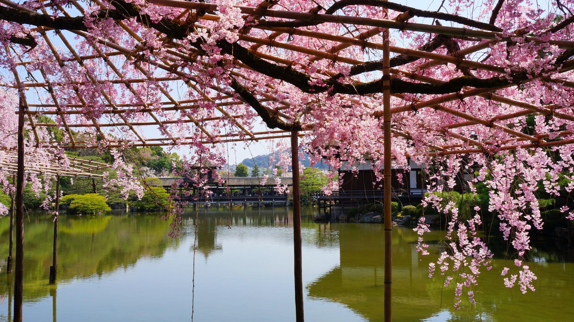 水辺を春色に彩る上品なしだれ桜