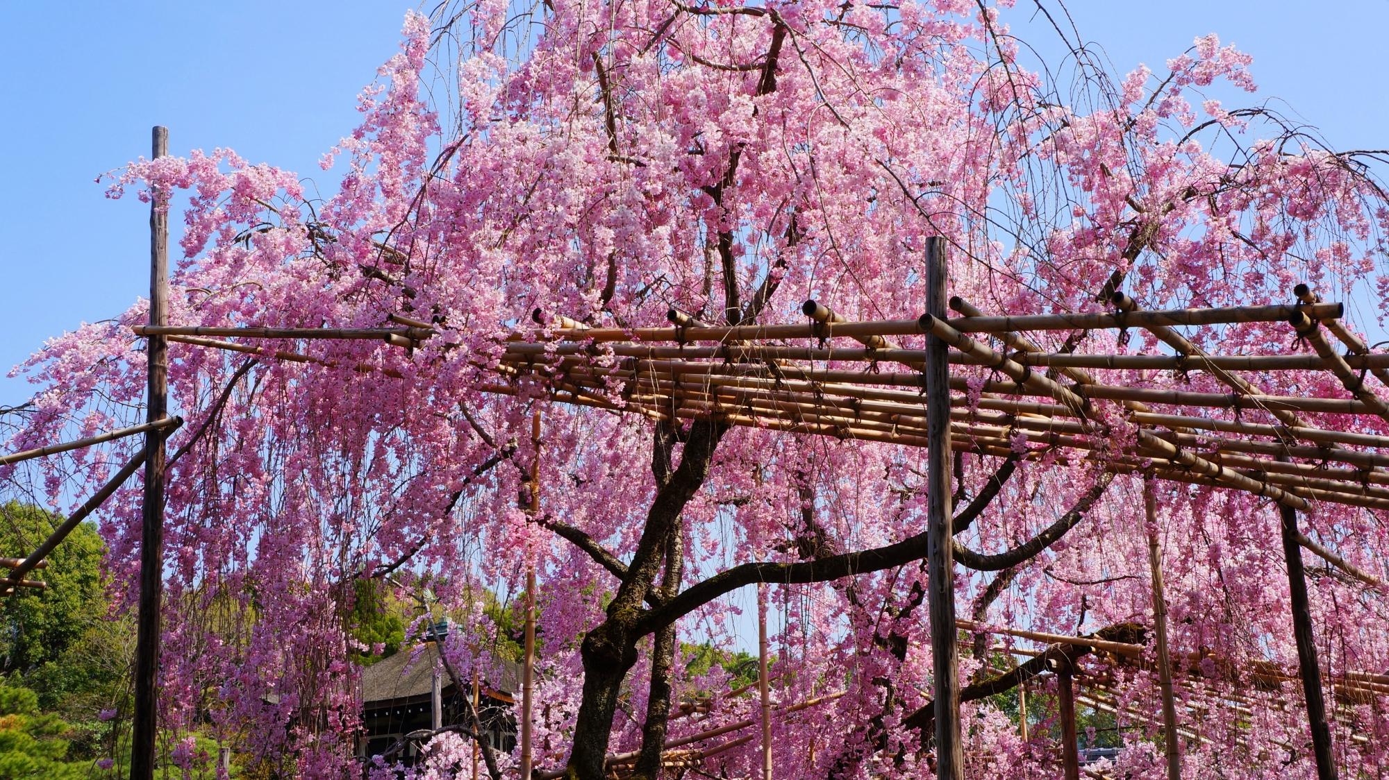 高画質 写真 平安神宮神苑 桜