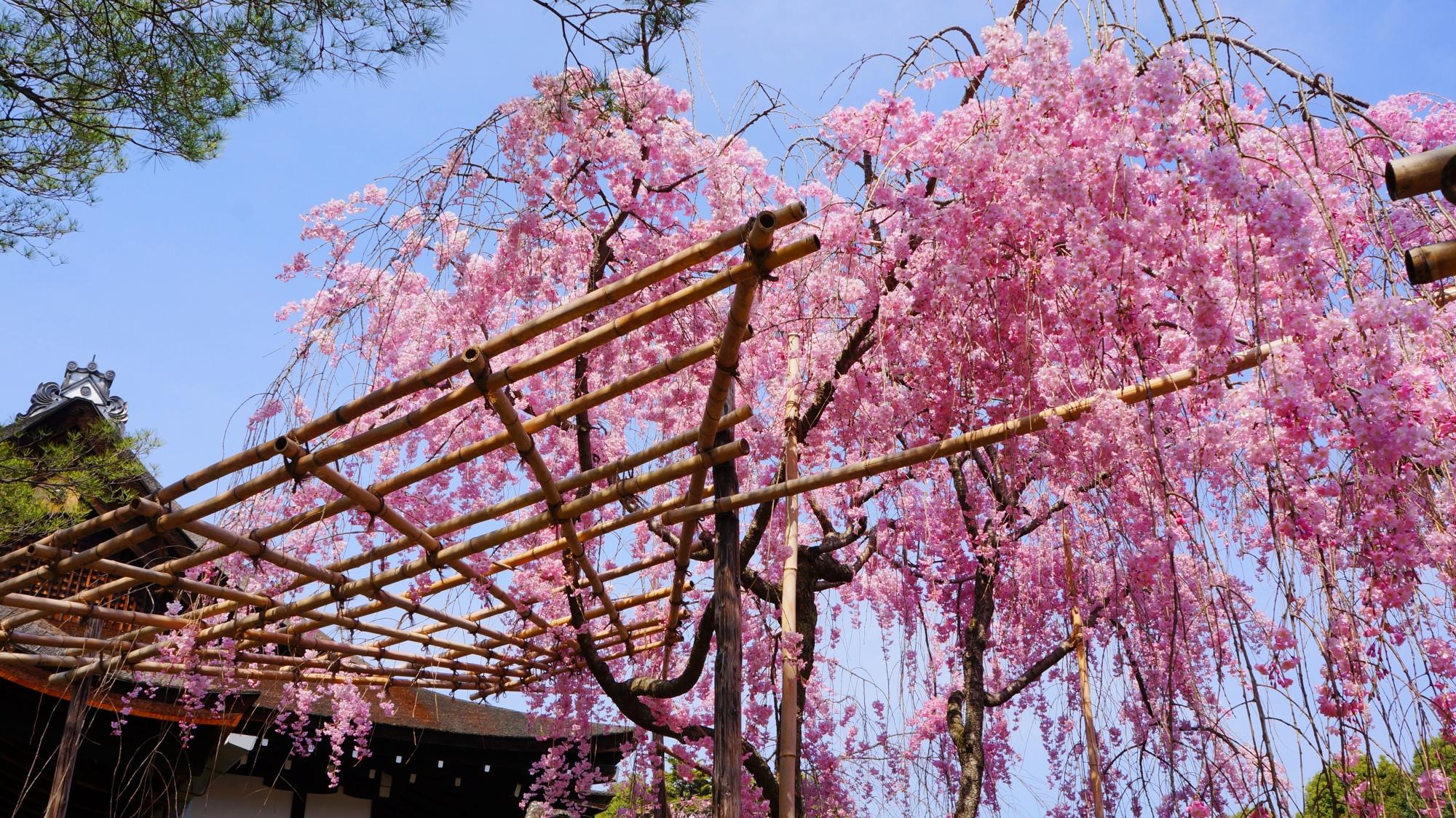 神苑の青空に映えるピンクに咲き誇るしだれ桜