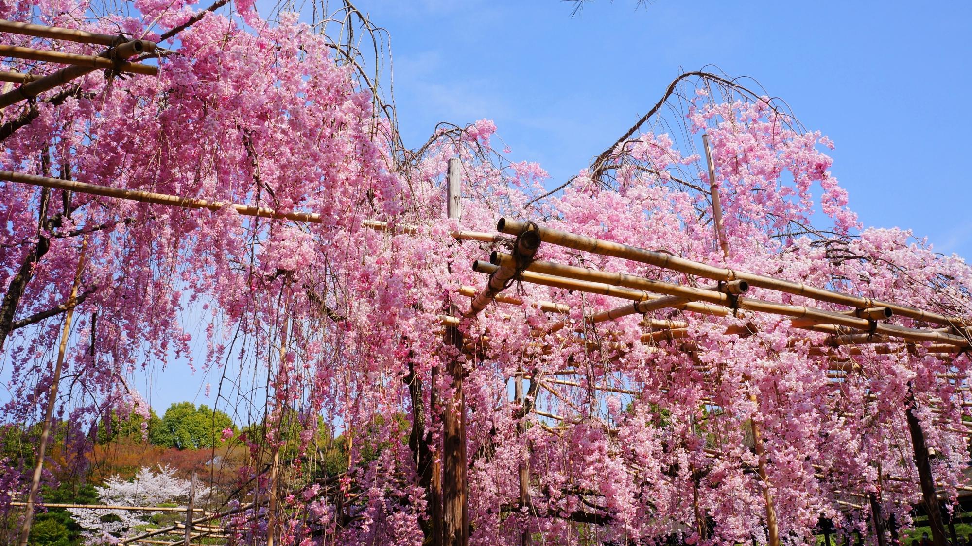 東神苑の神苑出口付近の桜