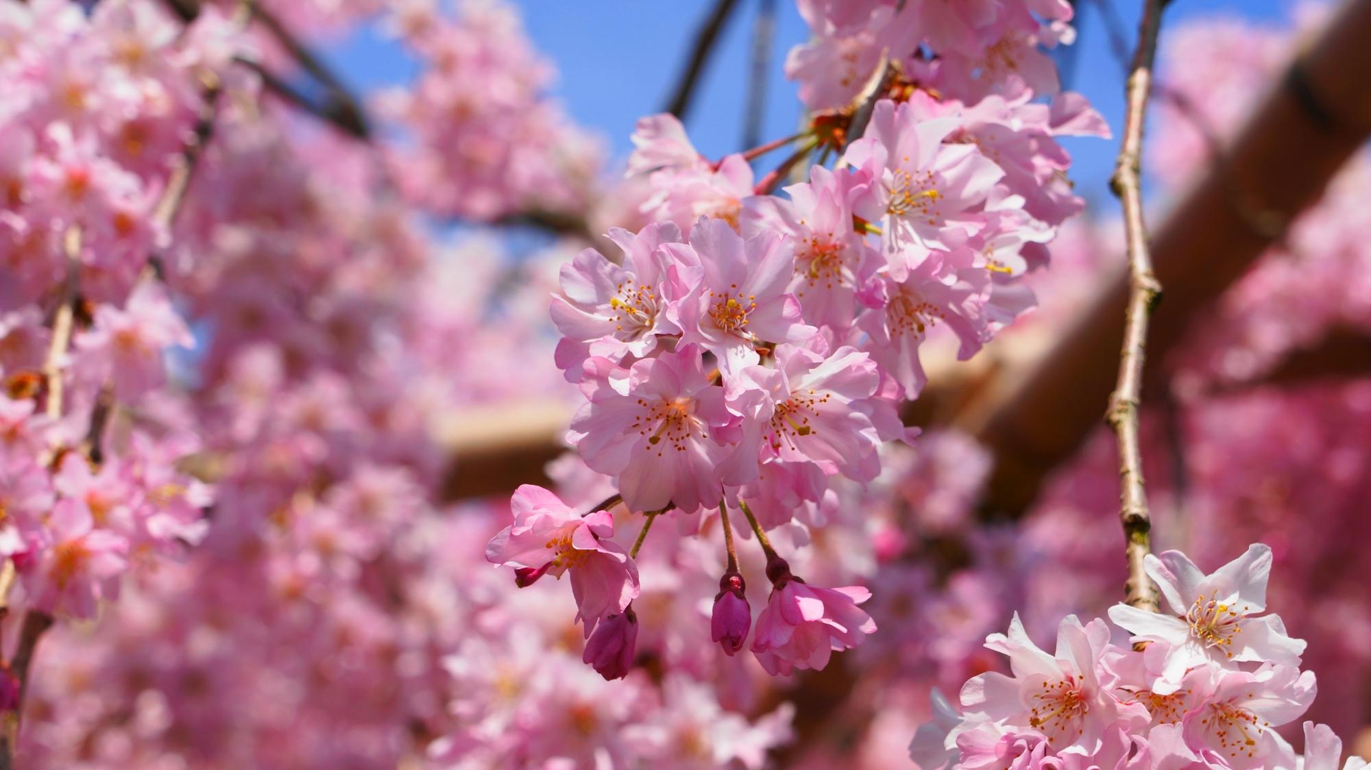 平安神宮神苑の素晴らしい桜と春の情景