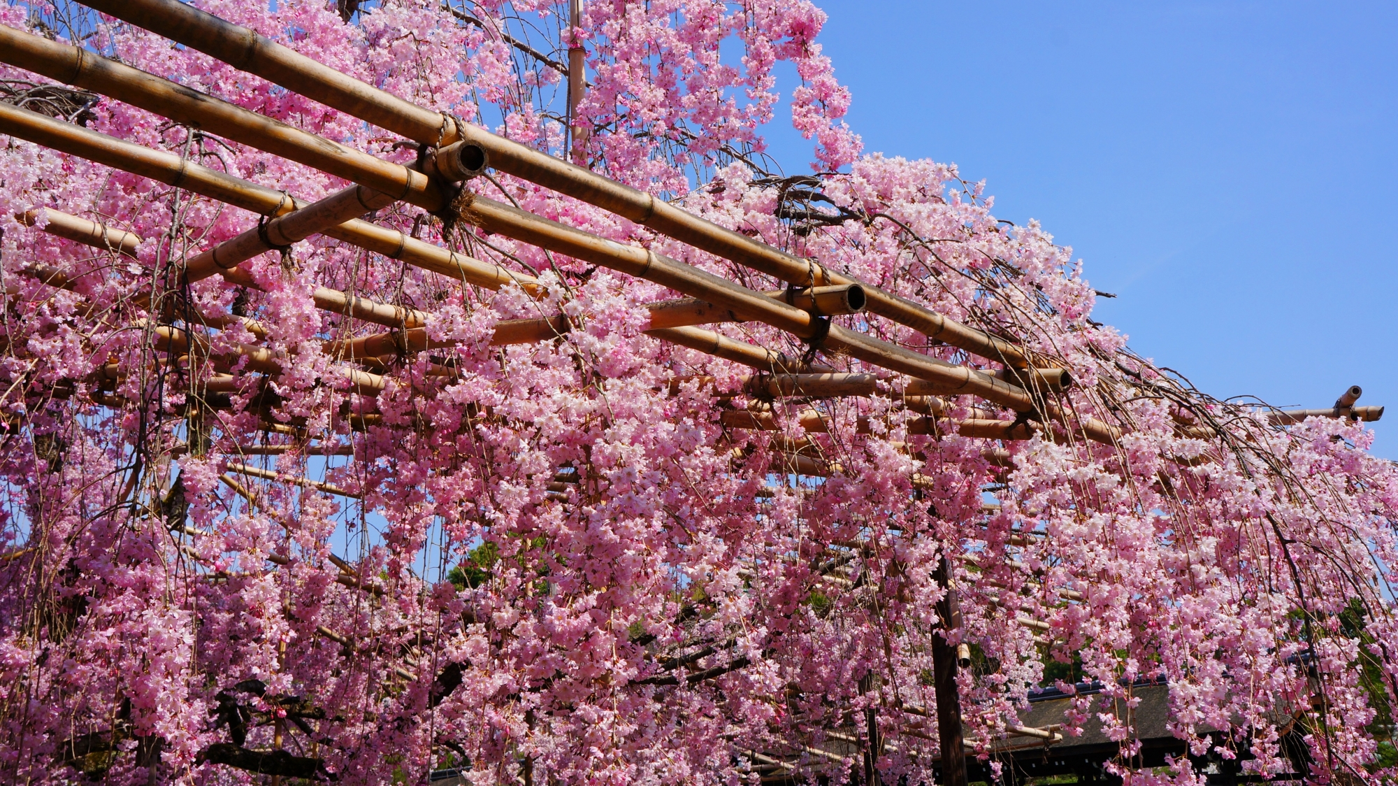 青空から降り注ぐ華やかなピンクの桜