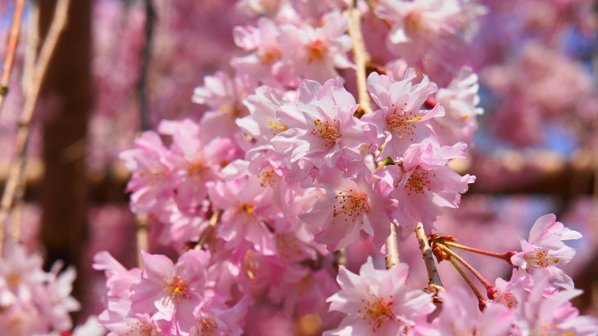 いかにも春らしい色合いの綺麗な桜