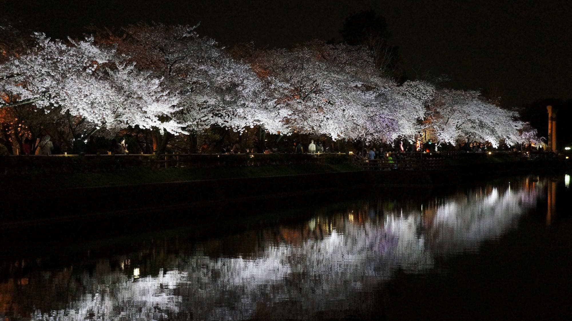 長岡天満宮の境内東側にある八条ヶ池の夜桜ライトアップ