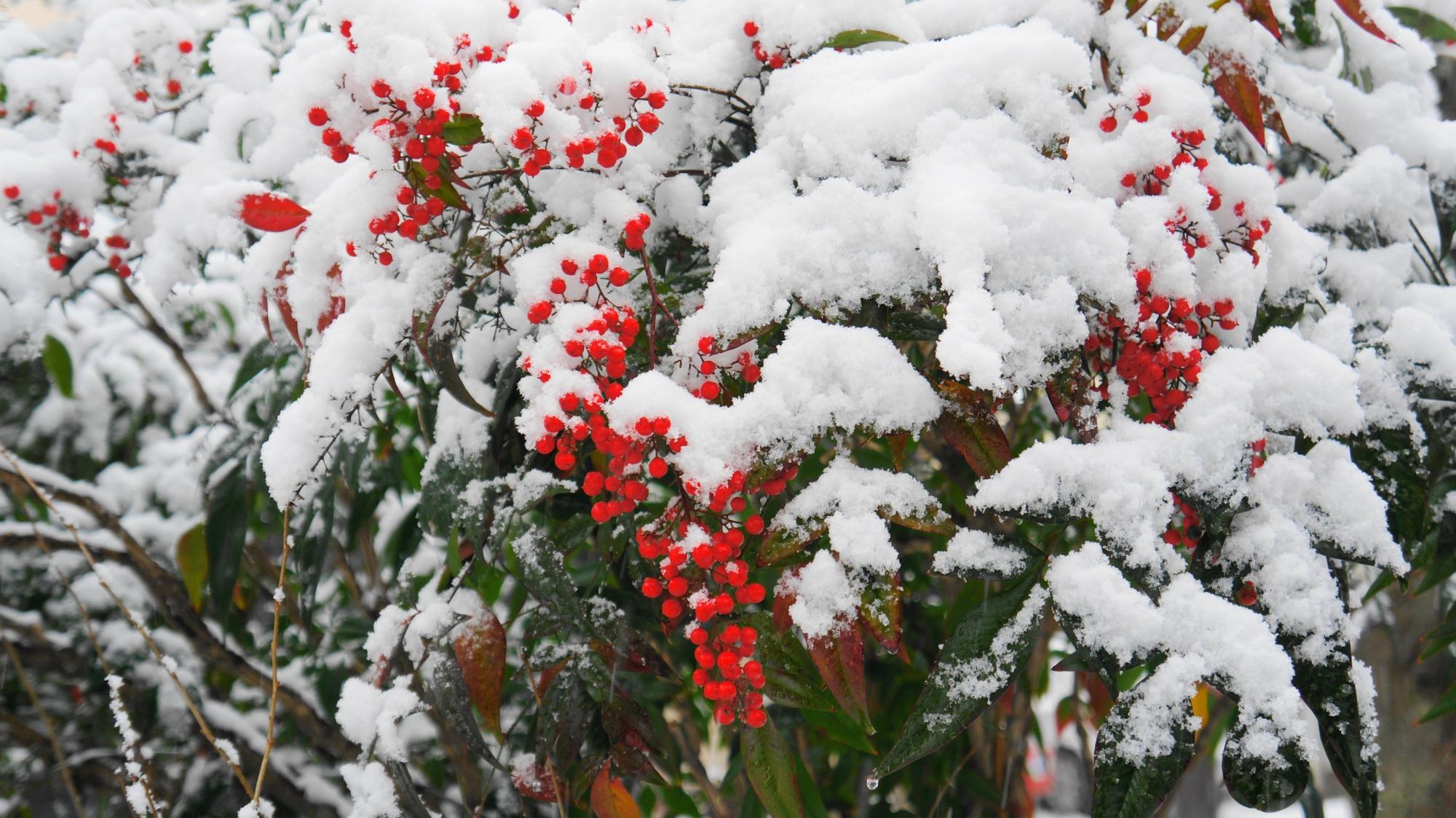 白い雪をかぶった南天の赤い実