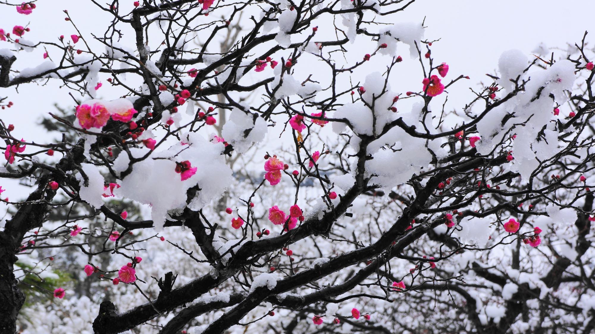 梅の木の枝と花に雪が積もった智積院