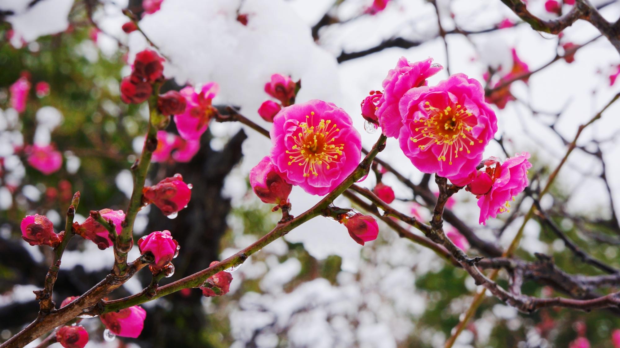 雪の中に咲く満開の梅の花