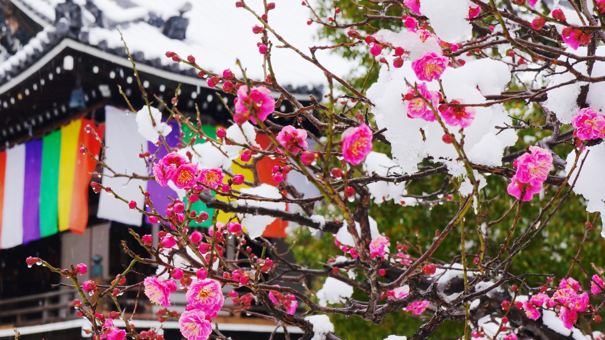 智積院の明王殿前の梅の雪景色