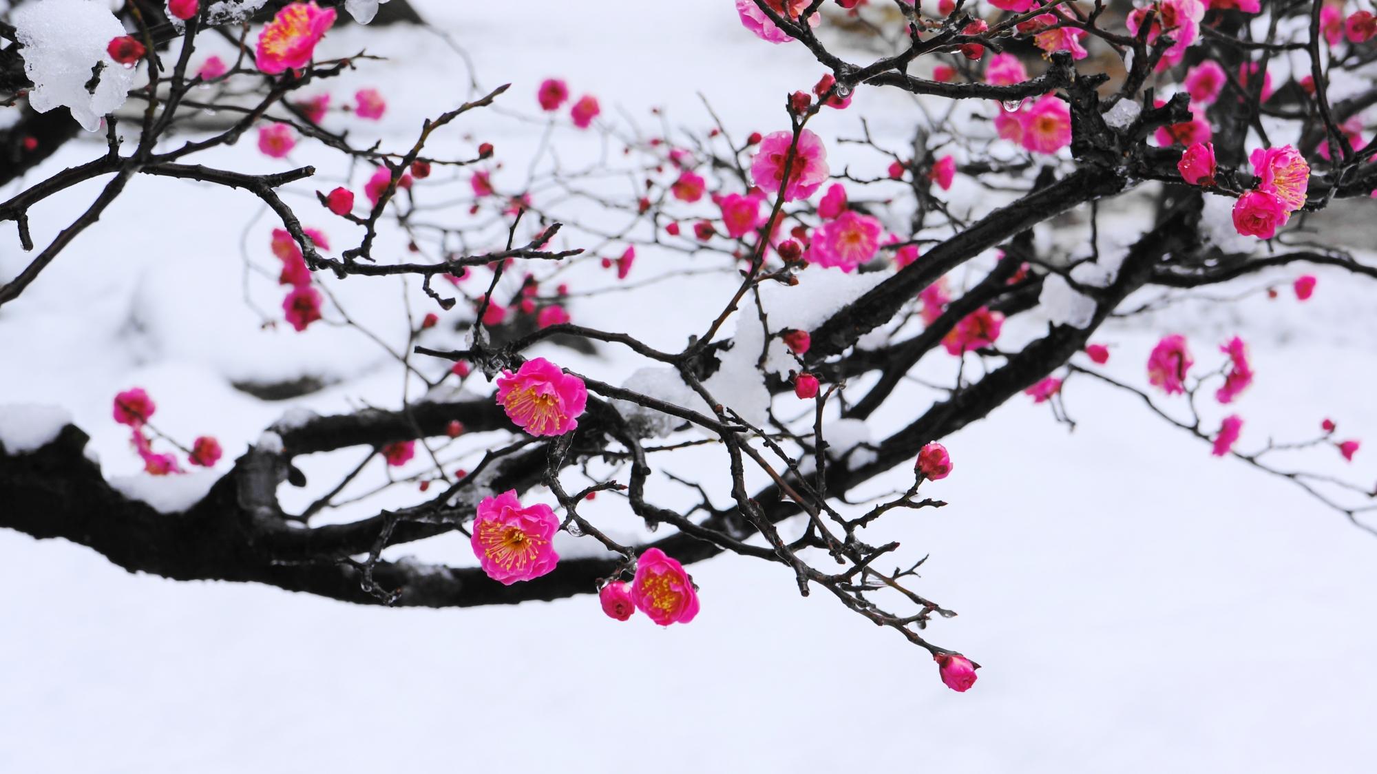 梅の木に咲く雪の花と梅の花