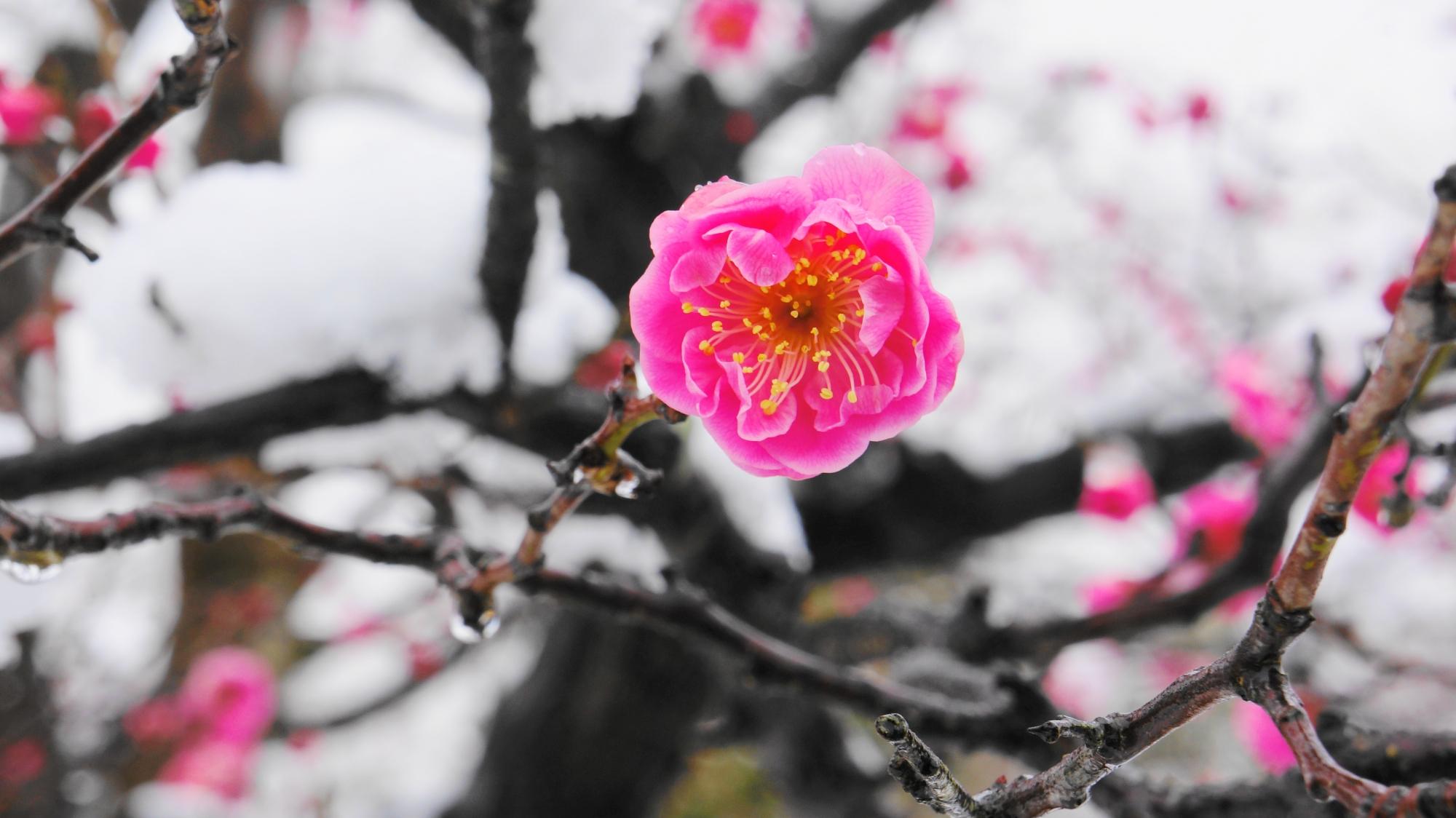 雪の白い背景に映えるピンクの梅の花