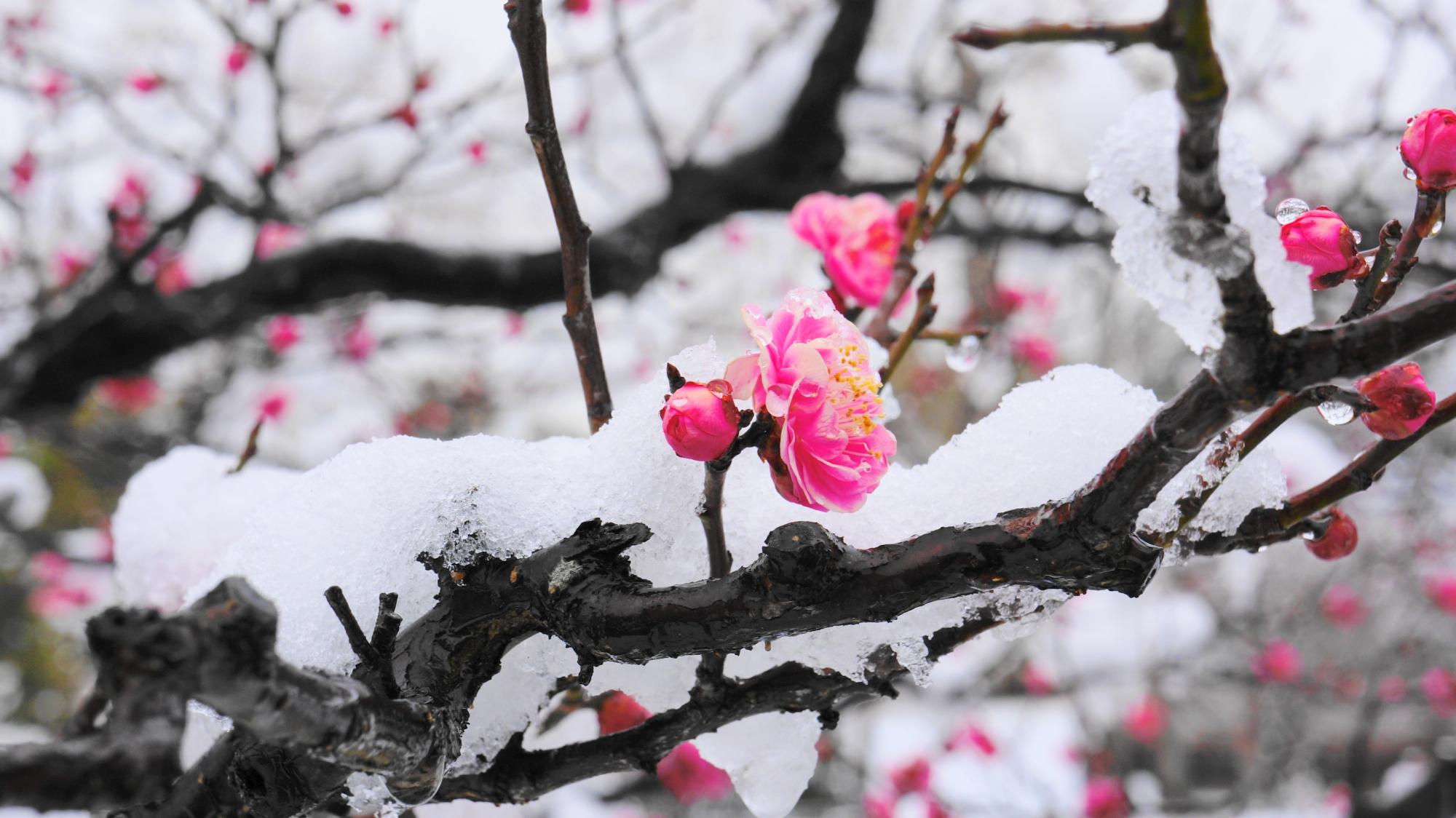 可憐なピンクの梅の花と枝に積もった白い雪