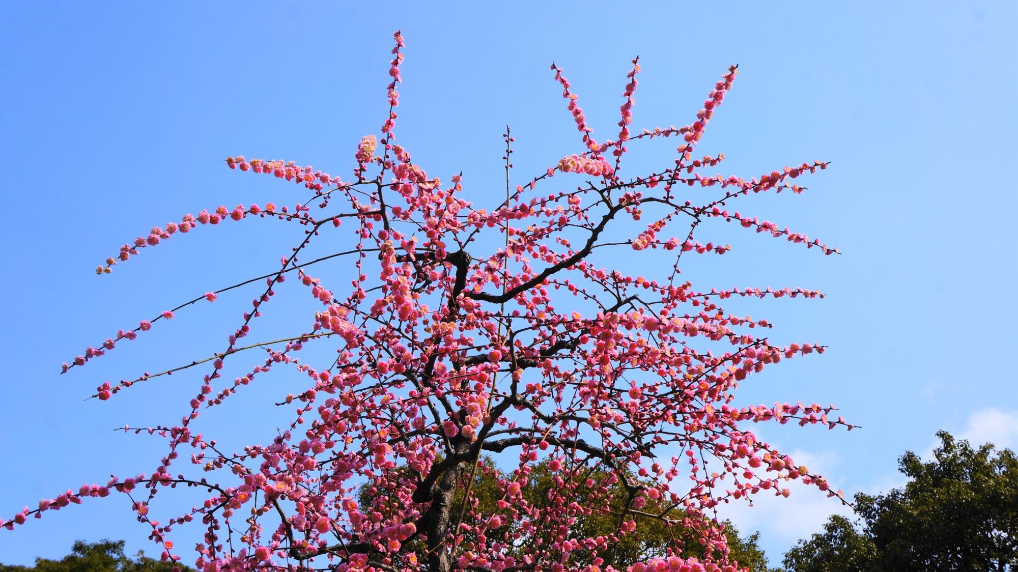優雅に春先の空を彩る梅