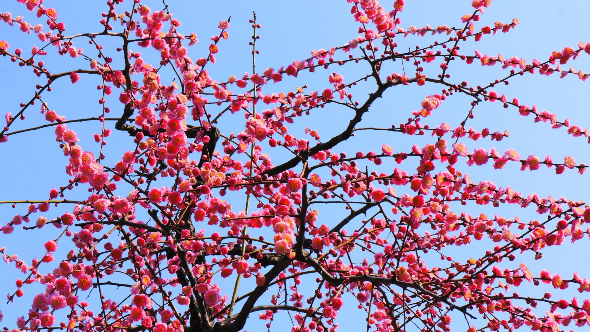 青空に映えるピンクのしだれ梅