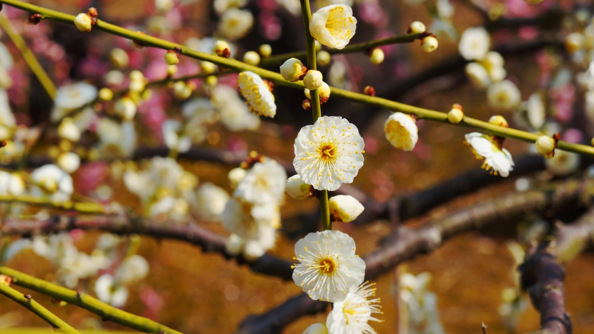 華やかで明るい感じの白い花