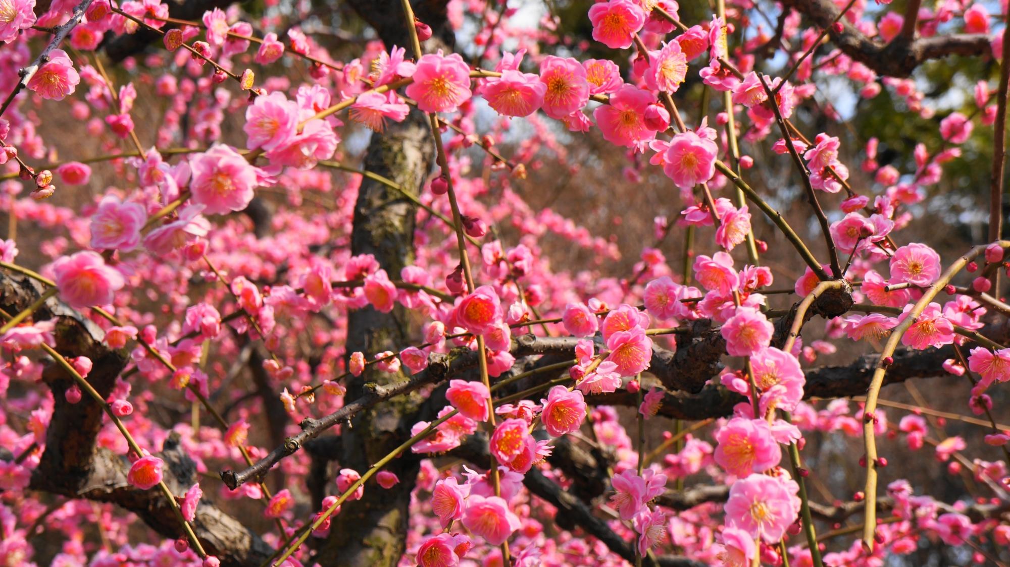 コロコロとした楽しい雰囲気もする梅の花