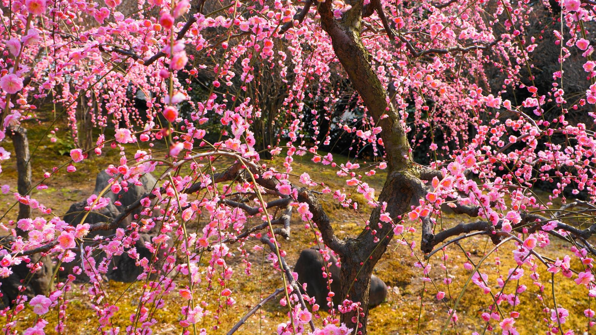 上も下も綺麗な梅の花でいっぱいの城南宮