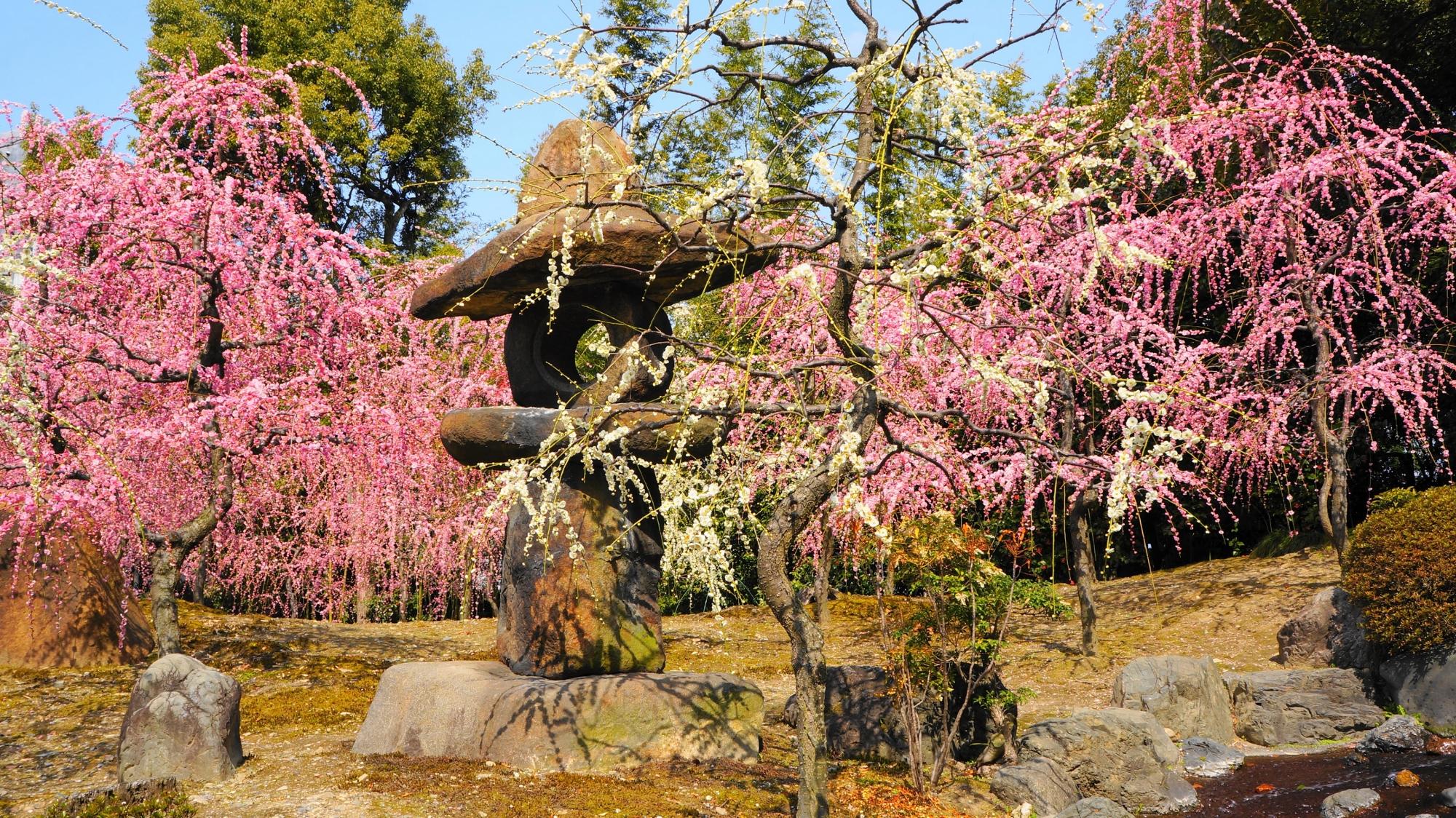 「春の山」と呼ばれる神苑「楽水苑」のしだれ梅の名所