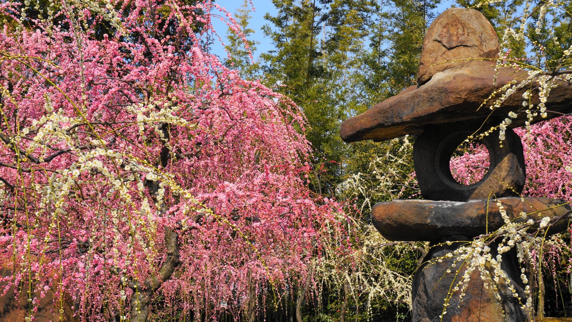 華やかなしだれ梅にそまる燈籠