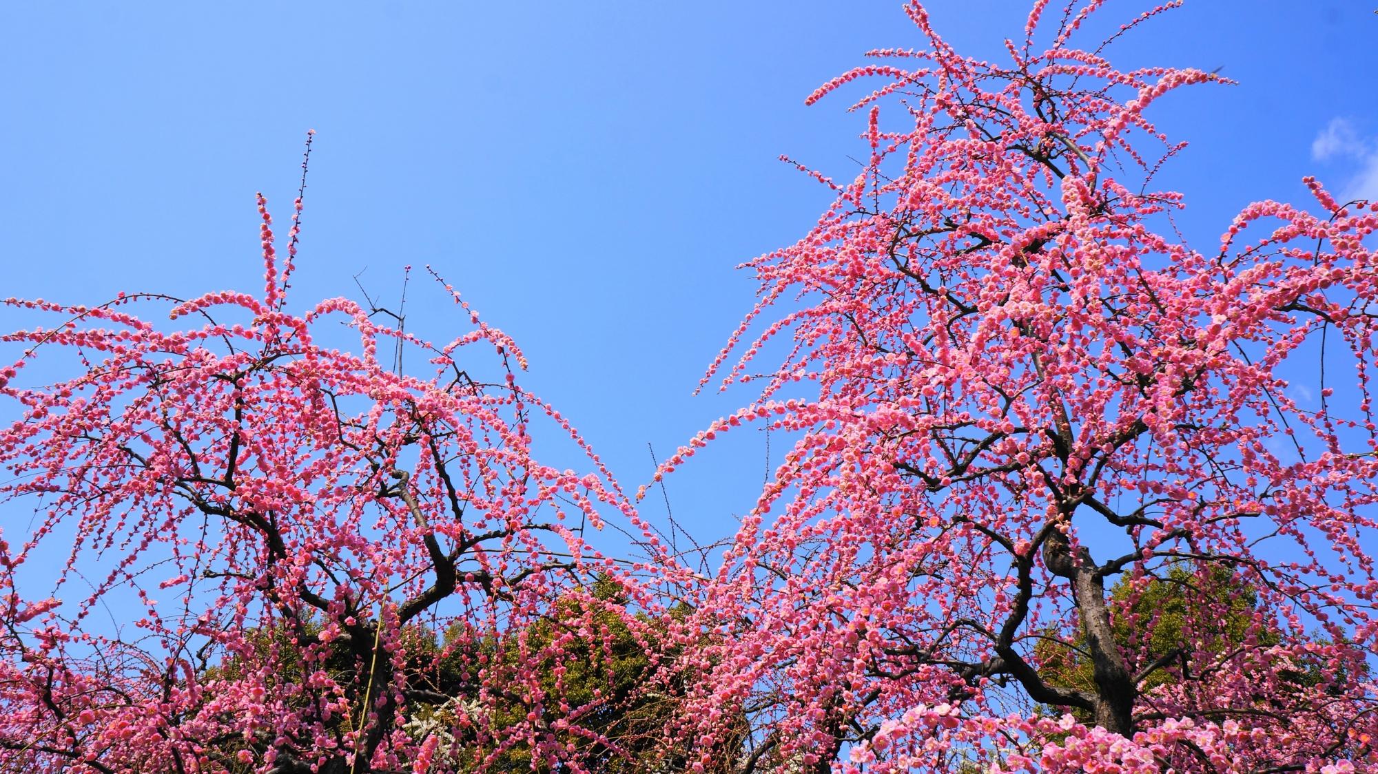 青空から降り注ぐピンクのしだれ梅