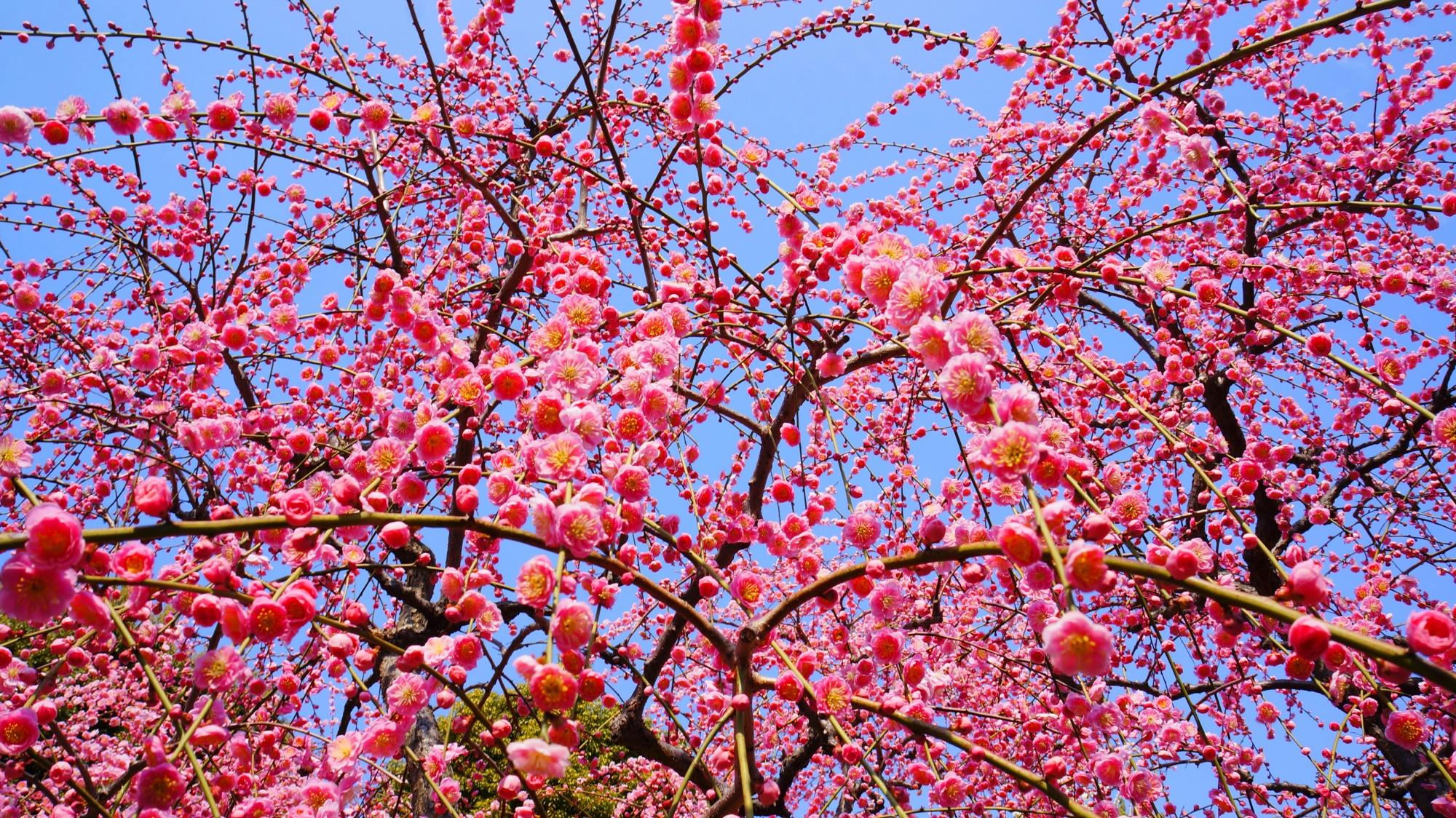 青空に煌びやかに輝くピンクの花