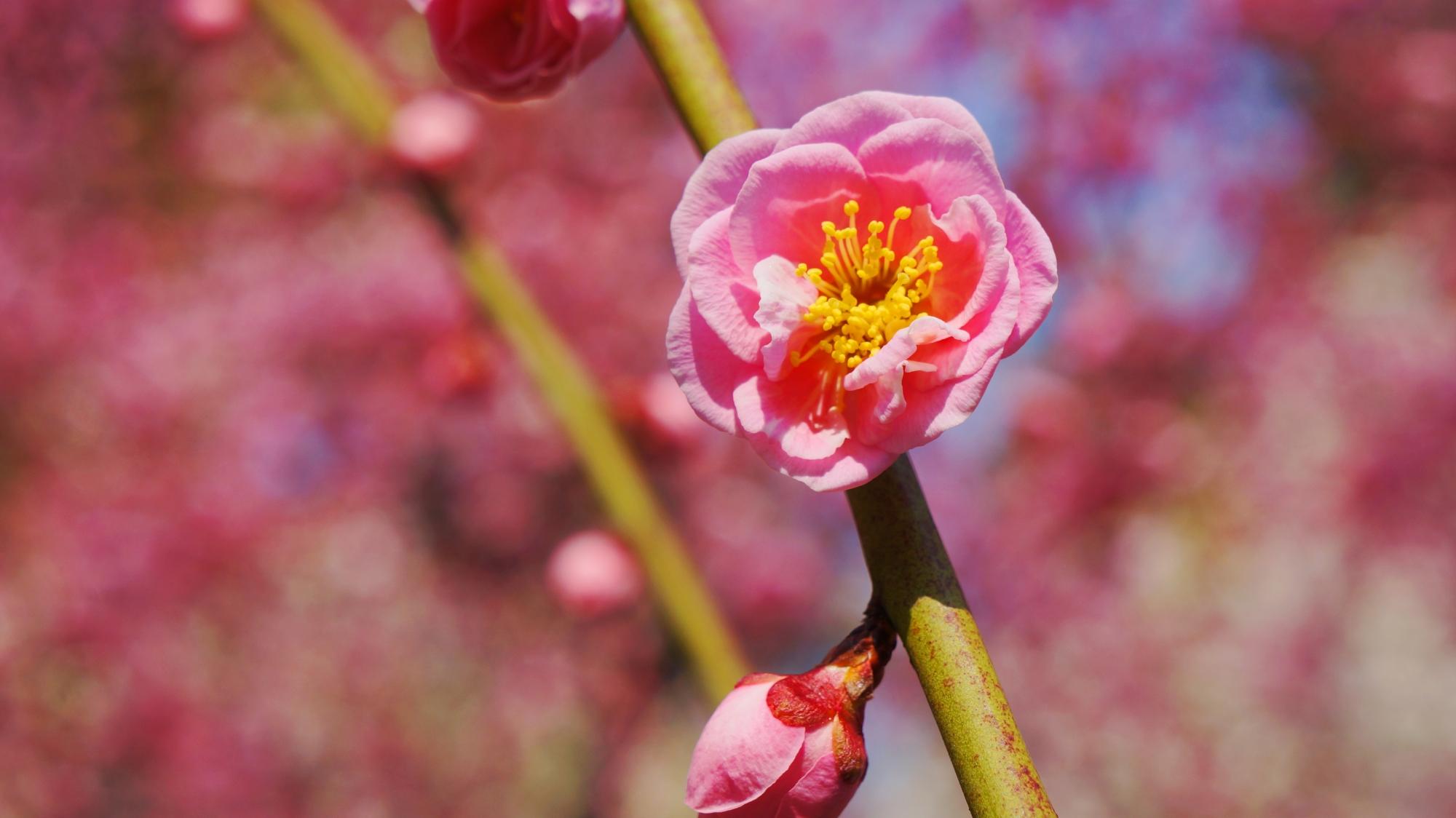 近くで見ると可愛い梅の花