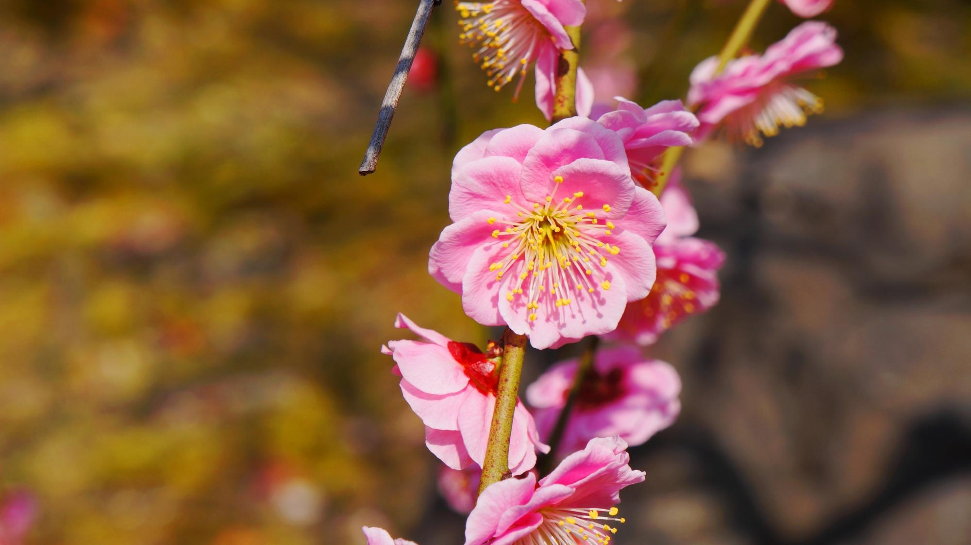 太陽が当たって輝く梅の花