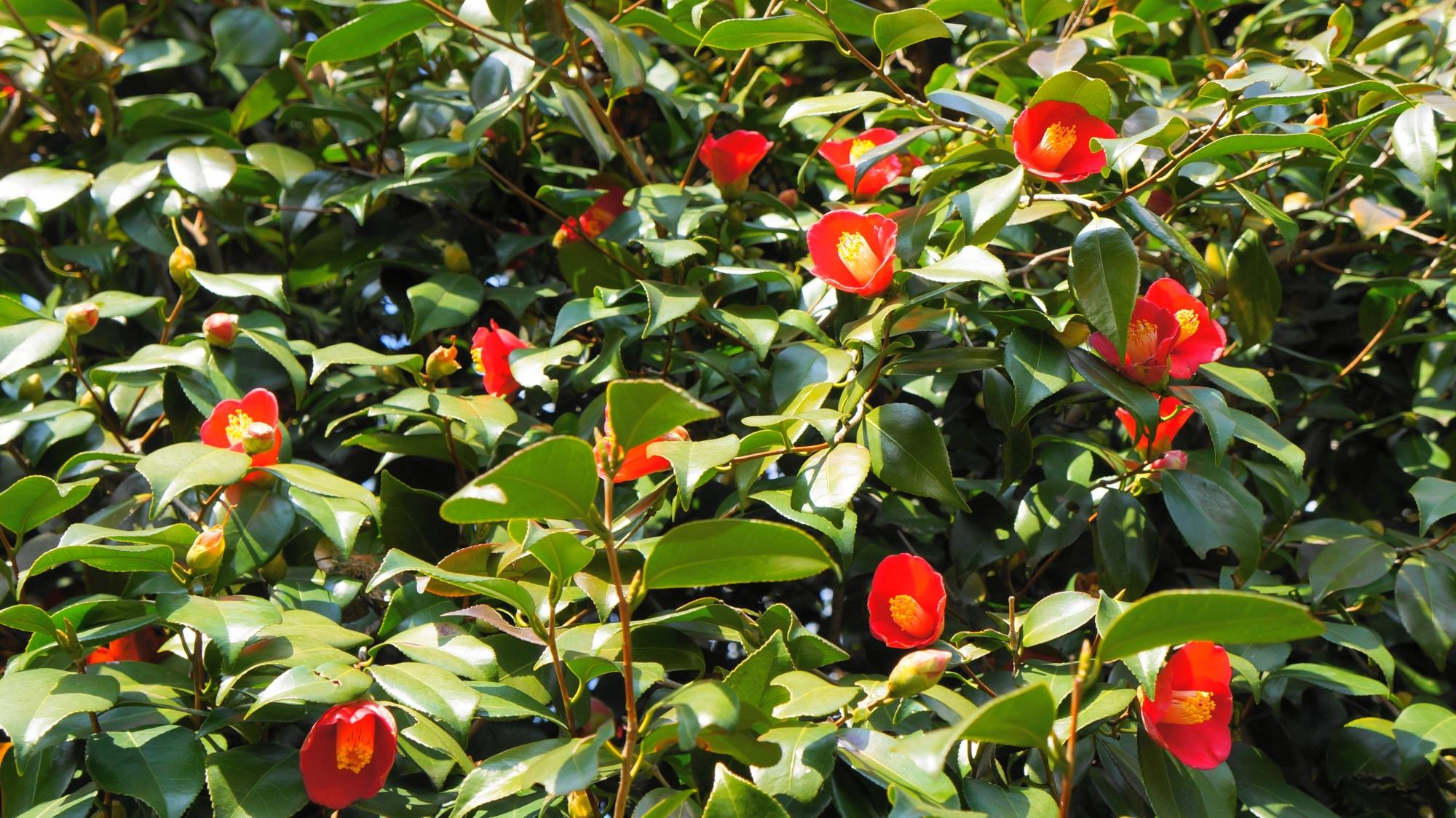 神苑の真っ赤な鮮やかな椿の花