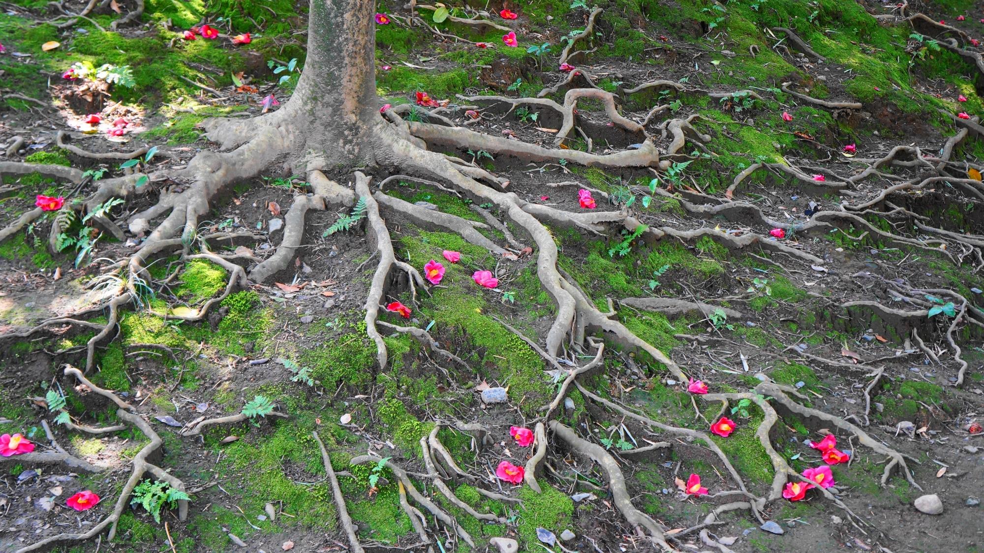 美しく風情もある散り椿と苔と木の根