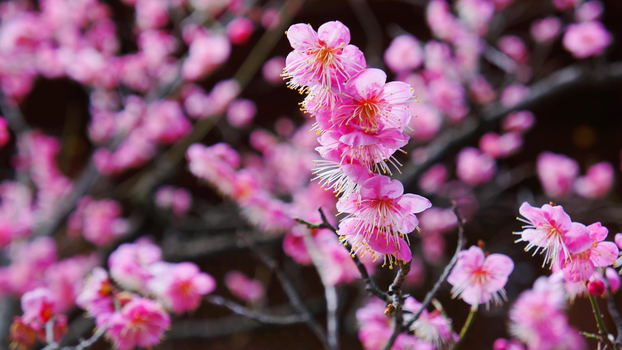 華やかなピンクの彩り
