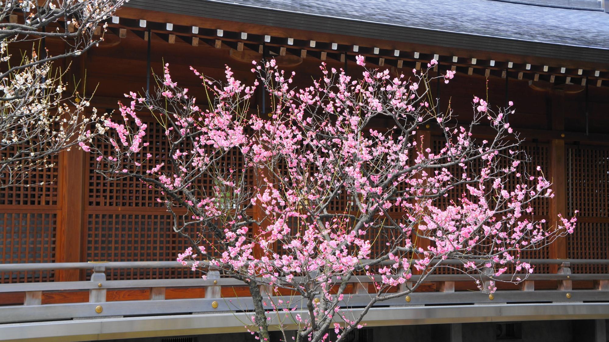 神楽殿裏の梅
