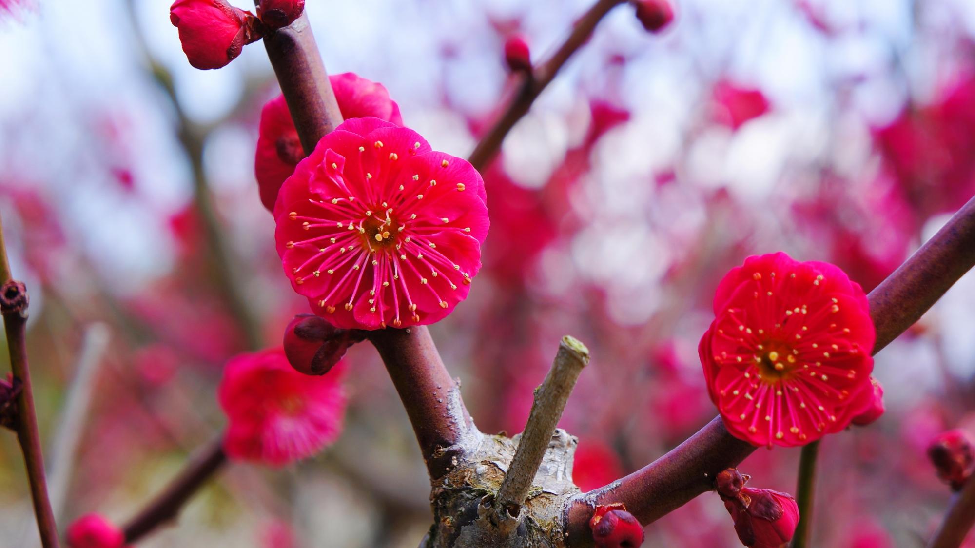 赤に近いビビッドなピンクの梅の花