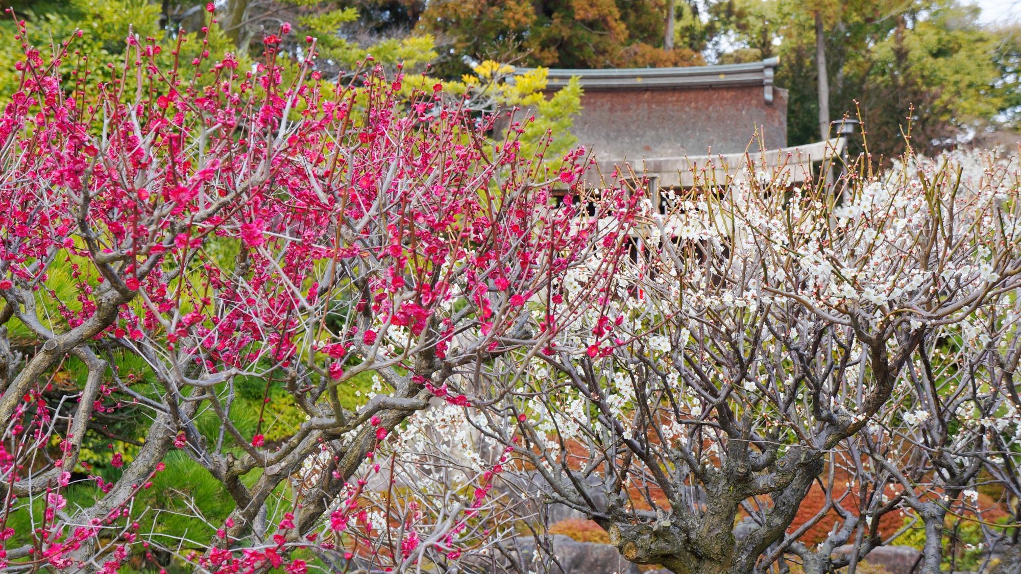 紅白の梅が咲き誇る室町の庭