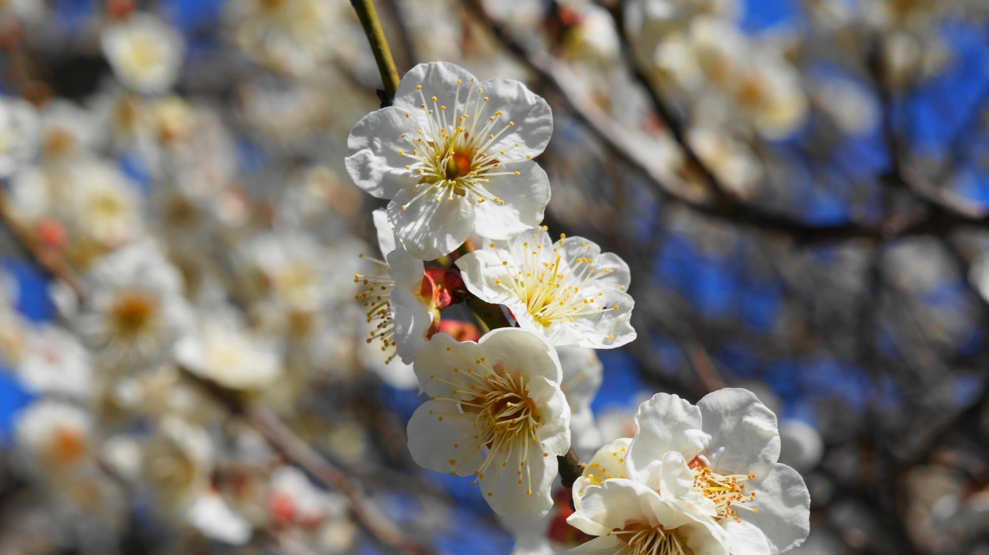 華やかに咲き誇る白梅