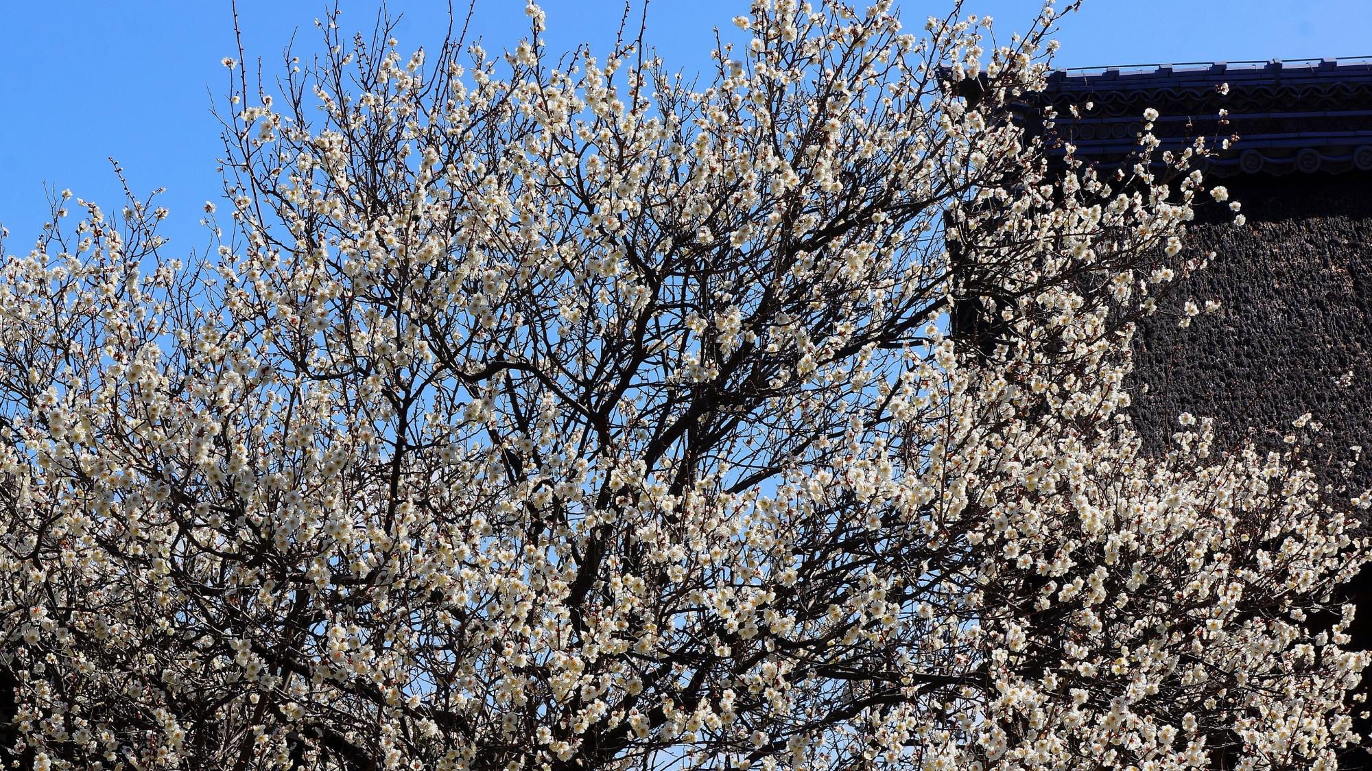 梅宮大社の青空に映える満開の梅の花