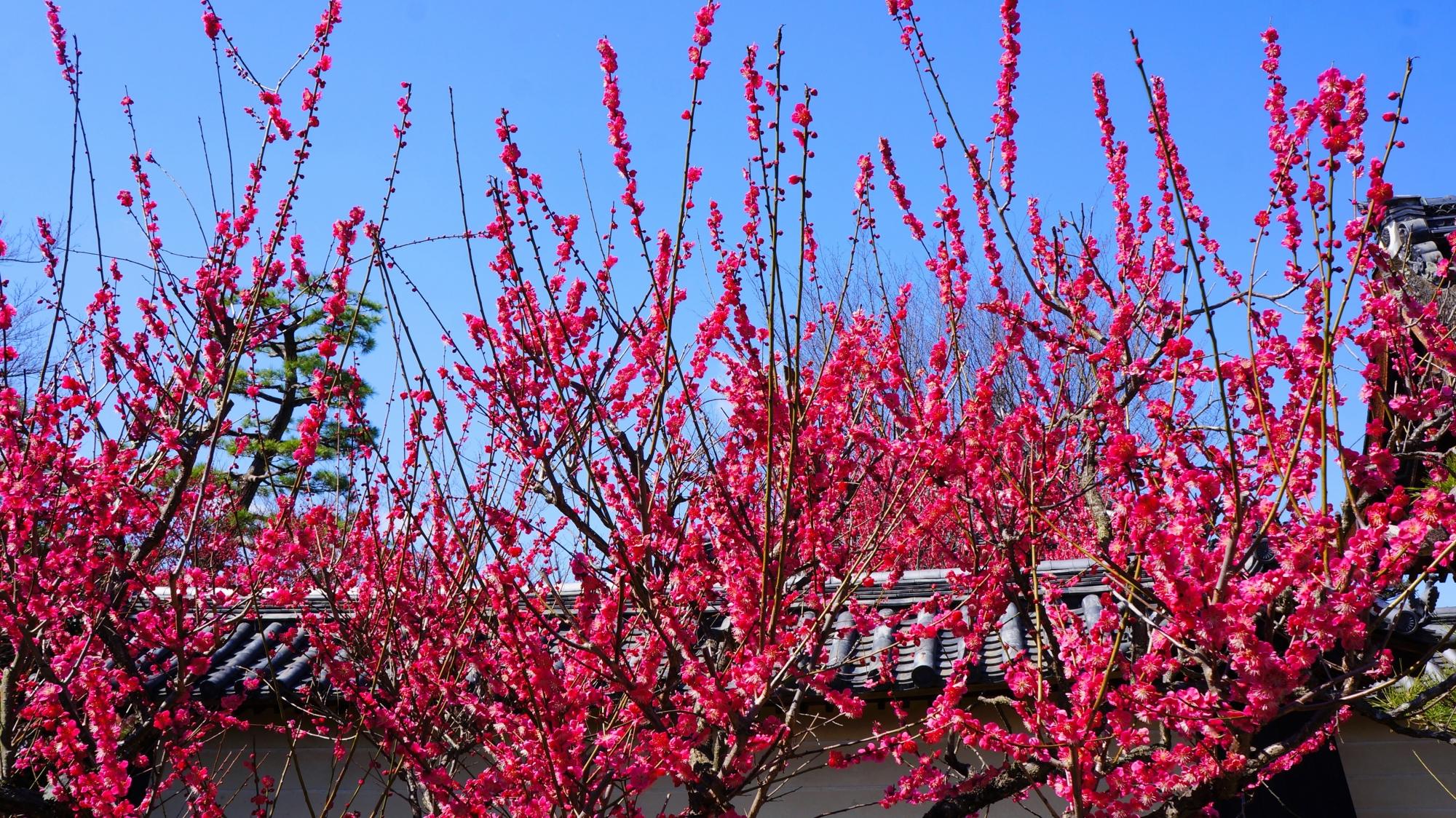 赤に近い濃いビビッドなピンクの梅の花