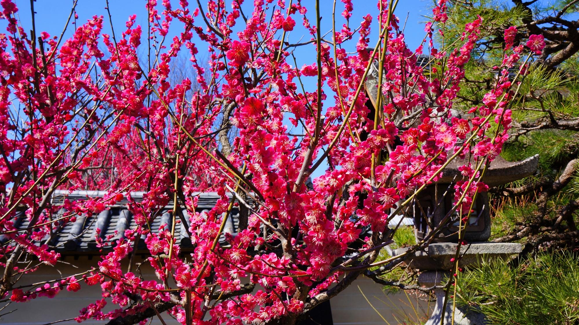 梅宮大社の超満開の梅