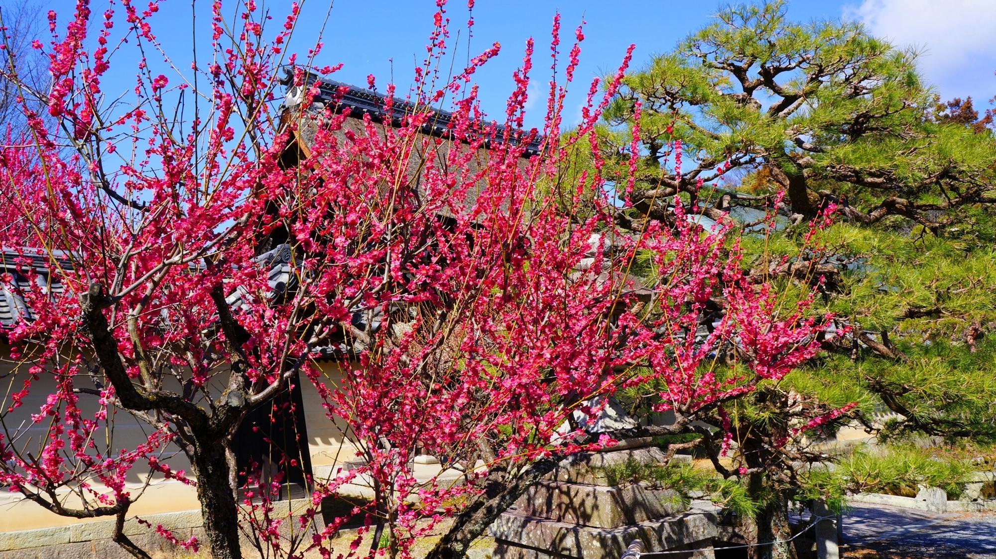 梅宮大社の神苑内の梅