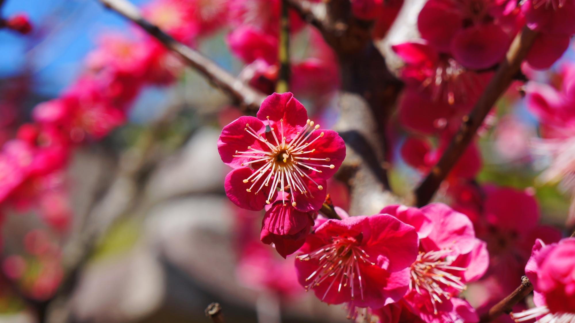 梅宮大社の春先の鮮烈な彩り