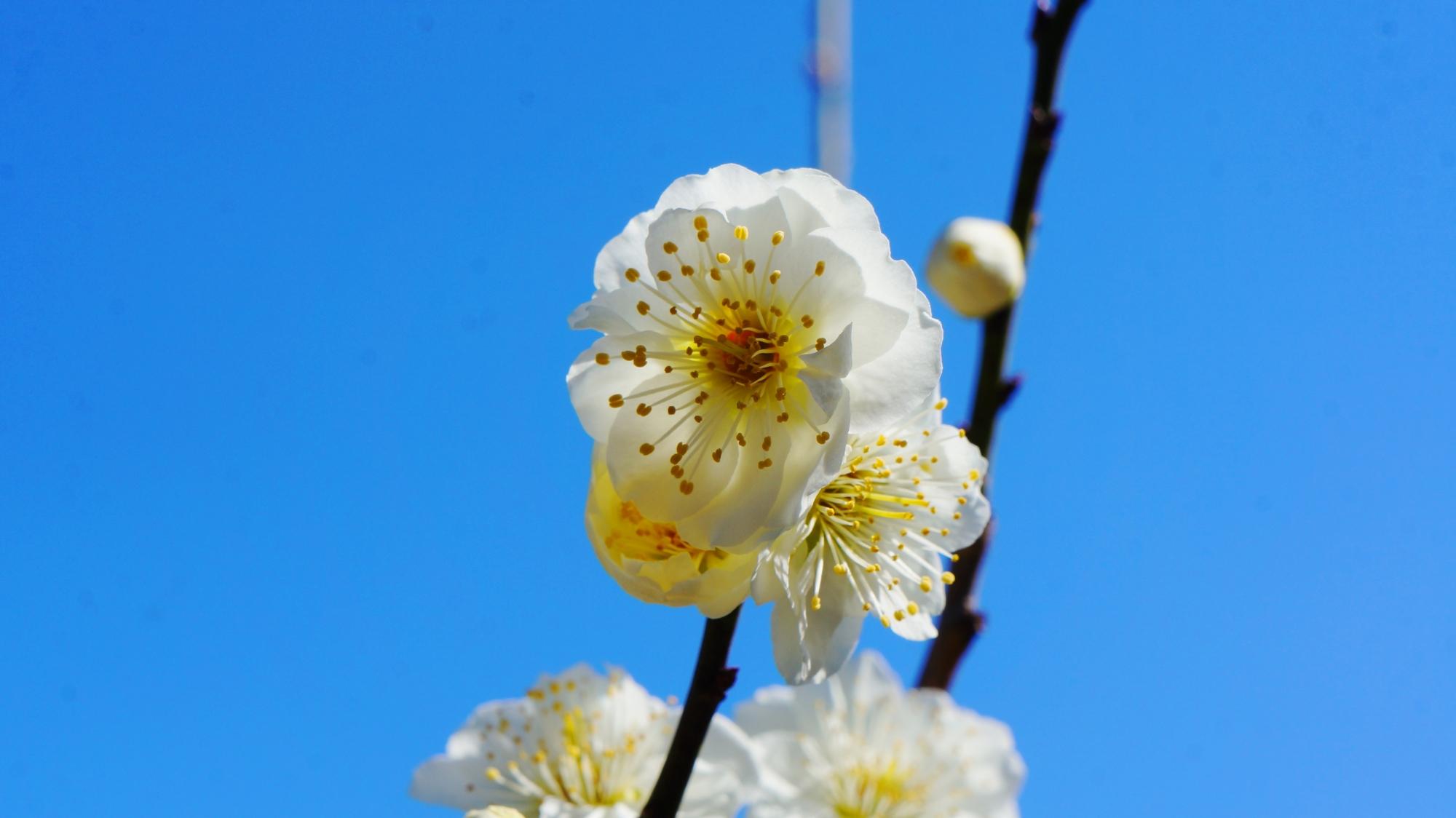 青空に透きとおるような満開の梅の花