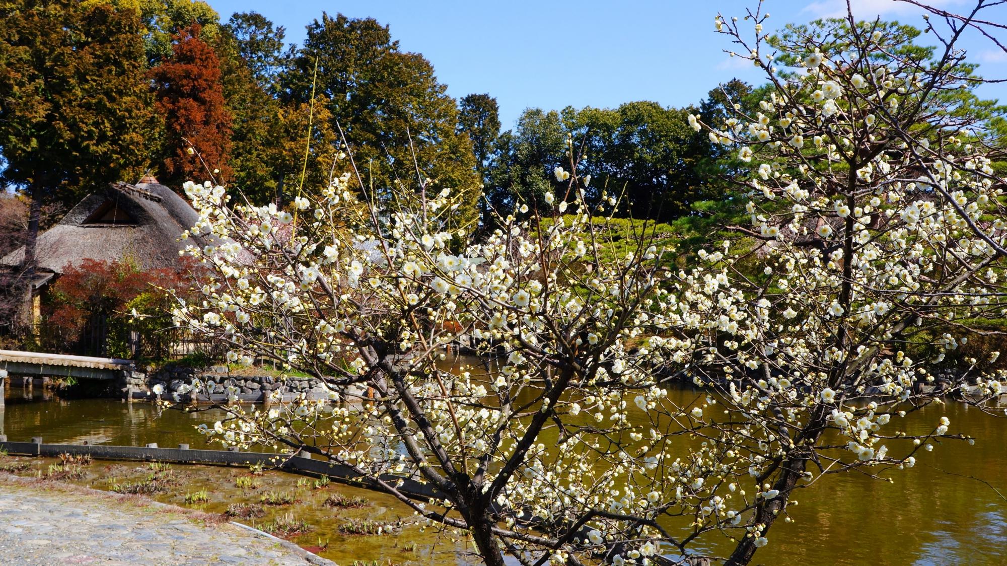 水辺を華やかに彩る白梅