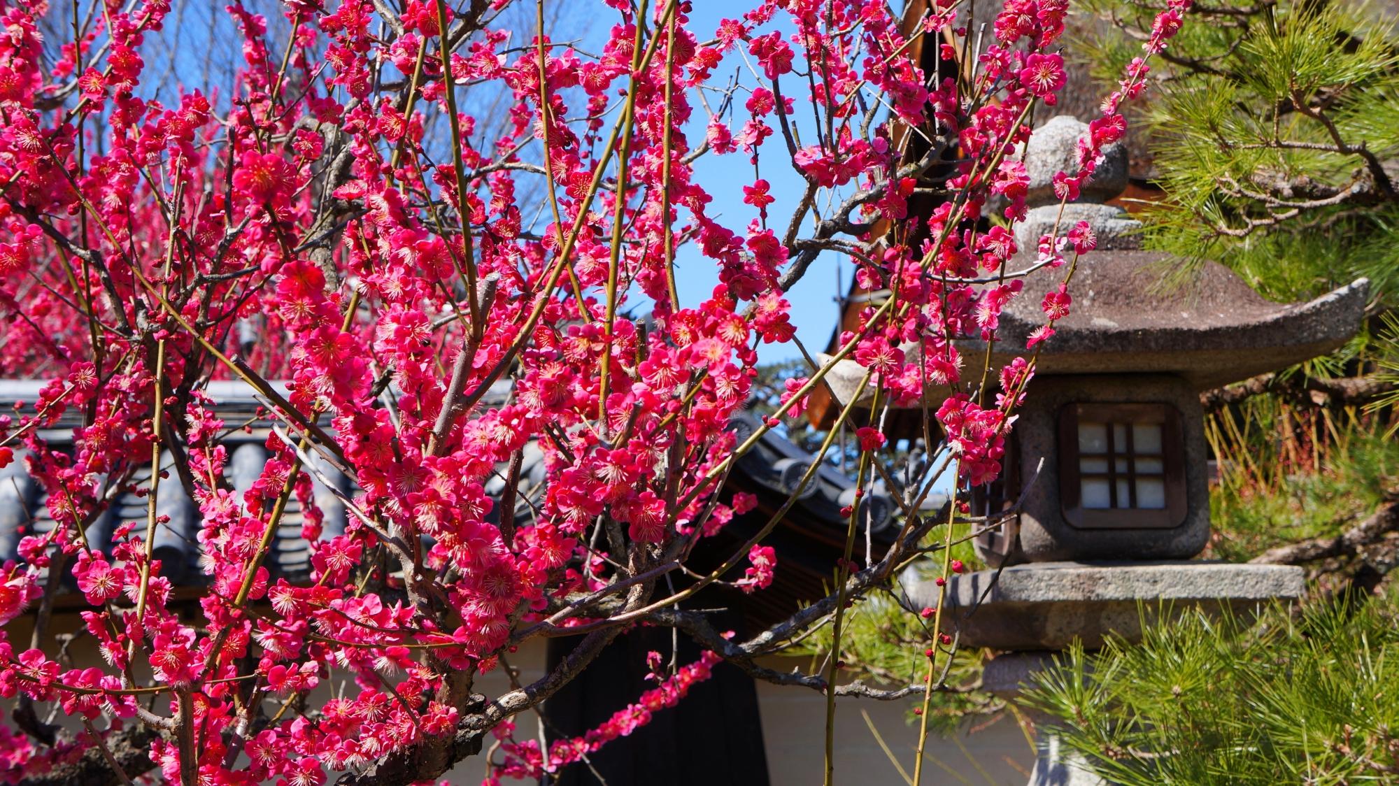 蟷螂と見事な梅の花